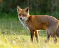 Εμβολιασμοί αλεπούδων με εναέριες ρίψεις εμβολίων-δολωμάτων από την 1η Οκτωβρίου