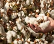 Προβληματισμός στον Αγροτικό Σύλλογο Γεωργών Αλεξάνδρειας για την βαμβακοκαλλιέργεια!