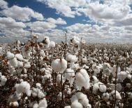 Την εξαφάνιση της καλλιέργειας βαμβακιού λόγω τιμών   καταγγέλλει ο Αγροτικός   Σύλλογος Αλεξάνδρειας