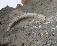 Βρέθηκε προϊστορικός χαυλιόδοντας στο ορυχείο Αμυνταίου της ΔΕΗ