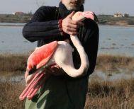 Εικόνες θλίψης - 30 φλαμίγκο δηλητηριασμένα από κυνηγετικά σκάγια  - Πως ο μόλυβδος σκοτώνει τα πανέμορφα πτηνά