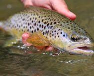 Ραγδαία μείωση της άγριας πέστροφας στον Τριπόταμο - Κίνδυνος εξαφάνισης λόγω... ανθρώπου!