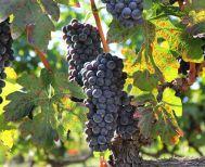 Νάουσα: Διαγωνισμός φωτογραφίας με θέμα τον τρύγο και την παραγωγή κρασιού - «Ο τρύγος έχει αρχίσει- Νάουσα 2020»