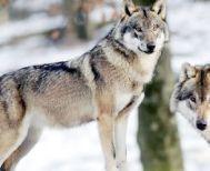 Δύο λύκοι «ψάχνουν» για πρόβατα  στον Άγιο Γεώργιο Βέροιας