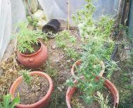 Συνελήφθη 51χρονος στην Ημαθία για καλλιέργεια δενδρυλλίων κάνναβης