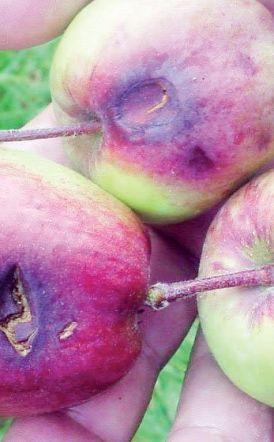 Αναγγελίες ζημιάς για καλλιέργειες μηλιάς σε Γιαννακοχώρι, Ροδοχώρι και Ειρηνούπολη