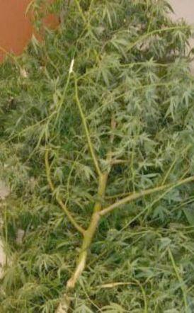 24χρονος καλλιεργούσε χασίς στην αυλή του και 23χρονος συνελήφθη για κατοχή κάνναβης