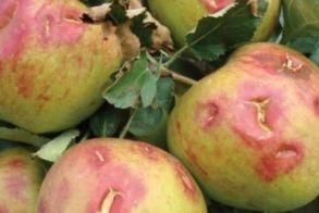 Νάουσα και Αρκοχώρι - Αναγγελία ζημίας από ανεμοθύελλα στα μήλα