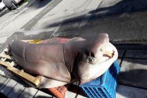4 μέτρα και 400 κιλά ο γαλέος σε ψαράδικο της πλατείας Αγ. Αντωνίου Βέροιας