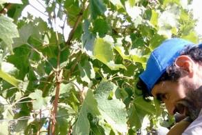 Ενημέρωση της Π.Ε. Ημαθίας για την απόκτηση αδειών νέας φύτευσης οινοποιήσιμων ποικιλιών αμπέλου