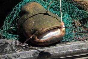 Βελβεντό Κοζάνης: Ψάρεψαν γουλιανό... 127 κιλών στη λίμνη Πολυφύτου! (φωτογραφίες)