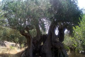Θερίζει ο δολοφόνος των δέντρων στη νότια Ευρώπη – Σκοτώνει τις ελιές της Μεσογείου!