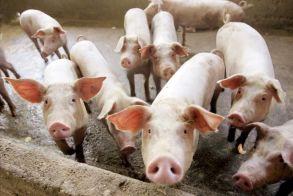 Συναγερμός για κρούσμα αφρικανικής πανώλης των χοίρων στις Σέρρες – Τα μέτρα που εφαρμόστηκαν