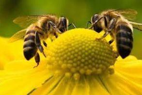 Πρόπολη – ένα ισχυρό αντιβιοτικό που προέρχεται από τις μέλισσες