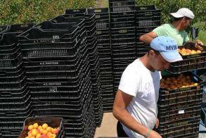 Πωλούνται 2 χωράφια κολλητά 25 και 11 στρεμμάτων με βερίκοκα σε παραγωγή και μπεκάκια