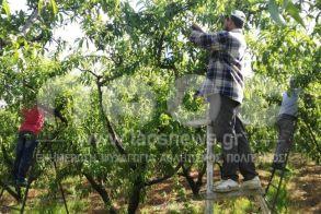 Διεπαγγελματική Οργάνωση Πυρηνόκαρπων: Μετάκληση πολιτών τρίτων χωρών για εποχιακή απασχόληση σε αγροτικές εργασίες