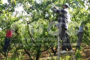 SOS από την Κοινοπραξία Συνεταιρισμών Ημαθίας: «Ξεκινούν οι αγροτικές εργασίες, χωρίς εργατικά χέρια»
