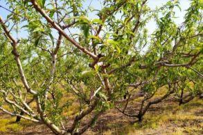 Σε απόγνωση οι αγρότες σε Ημαθία και Πέλλα - Κοινή ανακοίνωση των Αγροτικών Συλλόγων για τις ζημιές στα δέντρα από παγετούς και χαλαζοπτώσεις