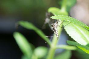 Μαύρα και φαρμακερά  τα κουνούπια  αυτές τις μέρες…