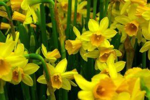 Κρίμα… να ξεπατώνουν τα όμορφα κίτρινα κρίνα…
