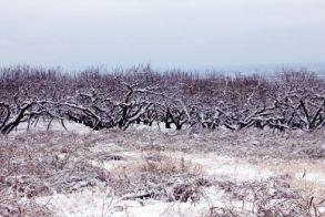 Υποβολή των οριστικών δηλώσεων για την αναγγελία ζημίας για Νάουσα, Στενήμαχο και Αρκοχώρι από παγετό