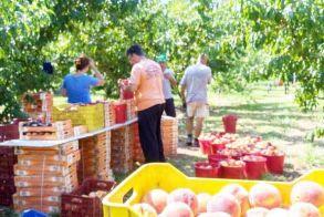 Έκτακτες αγροτικές αποζημιώσεις  λόγω έλλειψης εργατών γης;