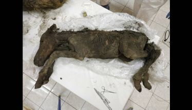 Βρέθηκε άλογο 42.000 ετών με υγρό αίμα και ούρα - Στόχος η κλωνοποίησή του