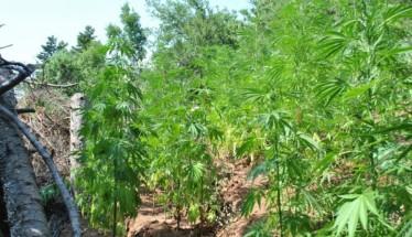 Συνελήφθη χθες από αστυνομικούς του Τμήματος Ασφάλειας Νάουσας, 52χρονος ημεδαπός για καλλιέργεια  3 δενδρυλλίων κάνναβης