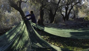Επικίνδυνο βακτήριο που «χτυπάει» τις ελιές μπορεί να προκαλέσει τον αφανισμό ολόκληρων περιοχών στην Ελλάδα