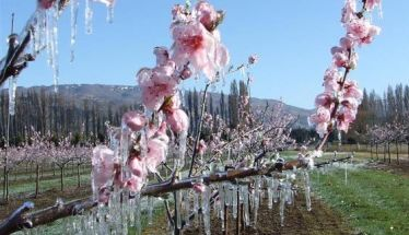 Ανακοινώθηκαν τα πορίσματα εκτίμησης ζημιών για τον παγετό στην Ξεχασμένη
