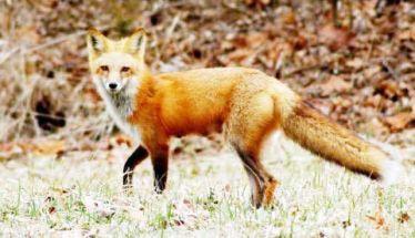 Επιδότηση 50 ευρώ στους κυνηγούς,  για κάθε αλεπού