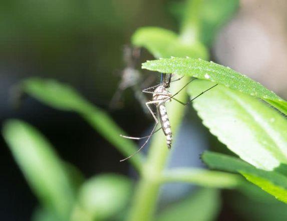 Πώς στειρώνονται  τα κουνούπια;