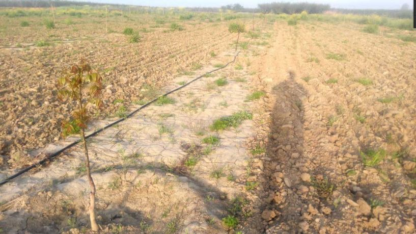 Εκατοντάδες μικρές καρυδιές έκαναν φτερά   από χωράφια της Ημαθίας τις τελευταίες εβδομάδες