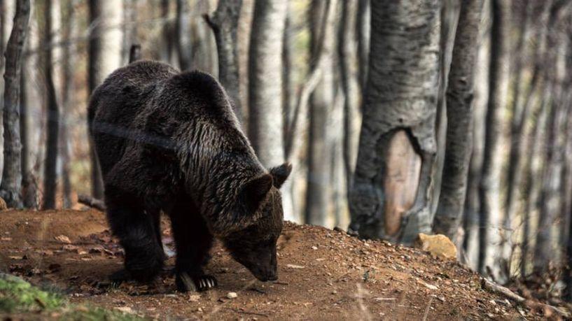 Συναγερμός στη Φλώρινα λόγω αρκούδας!
