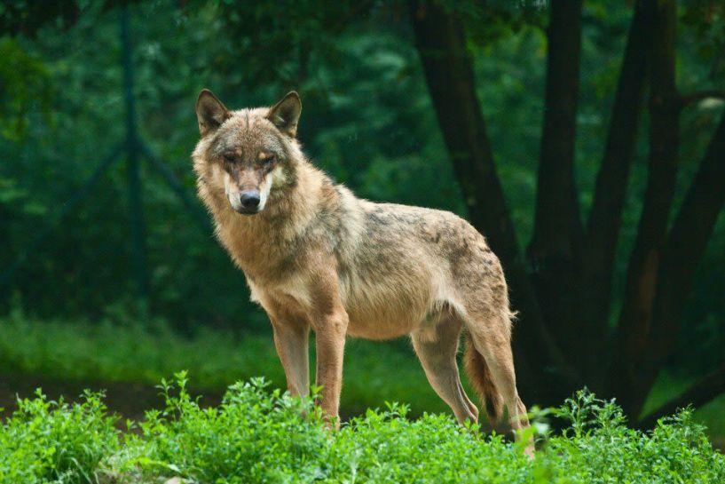 Λύκος κατασπάραξε σκύλο στο Ξηρολίβαδο