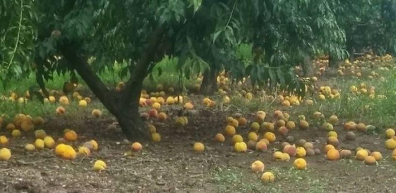 Το νερό στ΄ αυλάκι για την αποζημίωση της ροδακινοπαραγωγής από τις βροχοπτώσεις του Ιουλίου