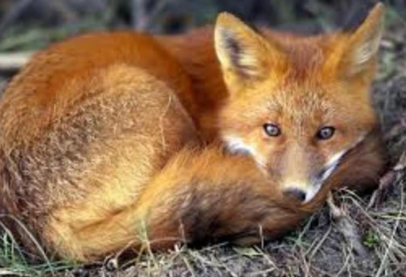 Παράταση του προγράμματος εμβολιασμών   των κόκκινων αλεπούδων κατά της λύσσας