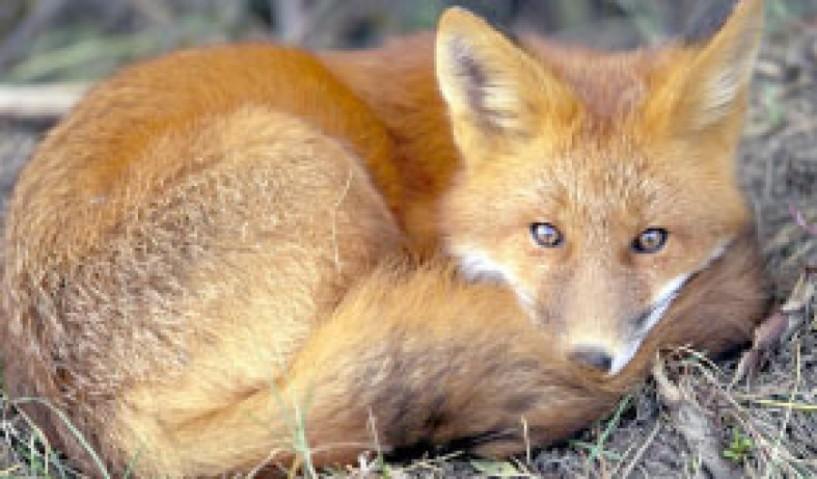 Σε νέες περιοχές  της Ημαθίας οι εναέριες ρίψεις εμβολίων  για τις κόκκινες αλεπούδες