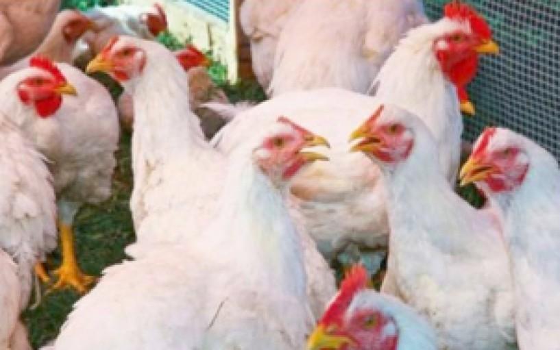 Επείγουσα ενημέρωση πτηνοτρόφων και κατόχων οικόσιτων πουλερικών για τη γρίπη των πτηνών - Ανακοίνωση από τη Διεύθυνση Κτηνιατρικής της Περιφέρειας Κεντρικής Μακεδονίας