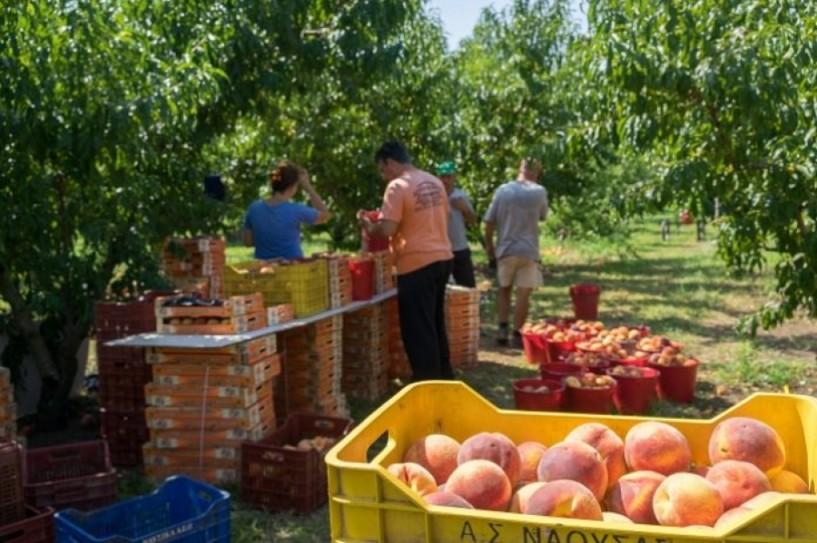 Πληρώνει ο Αγροτικός Συνεταιρισμός Νάουσας. 1,5 εκατ. ευρώ στους παραγωγούς