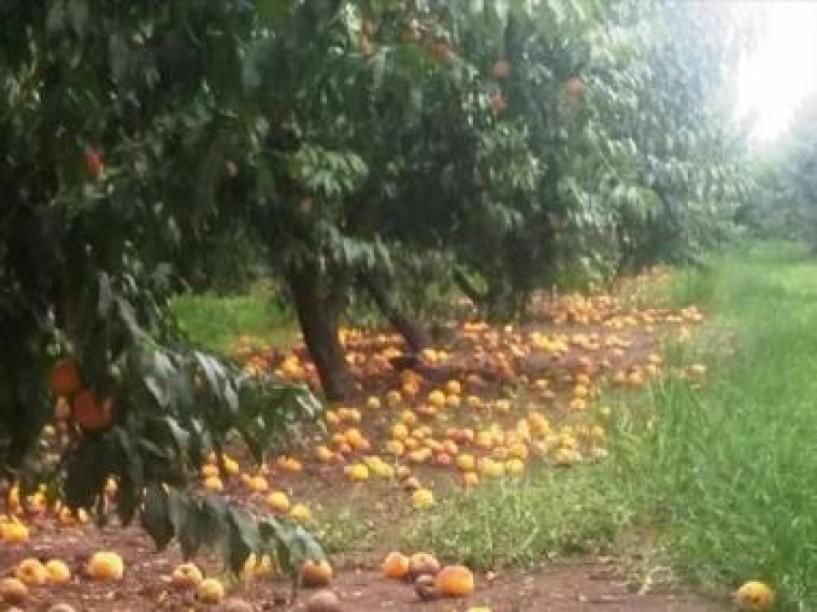Κοινή θέση όλων των εκπροσώπων Αγροτικών Συνεταιρισμών για το ροδάκινο: «Το υπουργείο πρέπει να δράσει άμεσα με τις αποζημιώσεις»