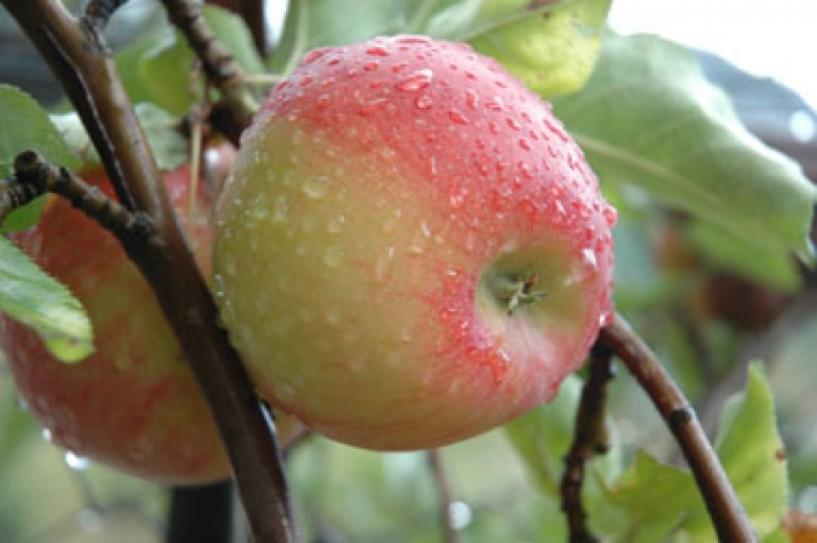 Στο φουλ τα μήλα και το ξινόμαυρο, έρχονται τα ακτινίδια