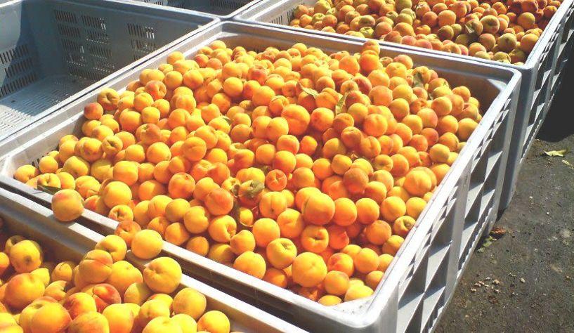 ΕΚΕ: Έντονο και φέτος το φαινόμενο της παράνομης διακίνησης φρούτων ιδίως στο συμπύρηνο