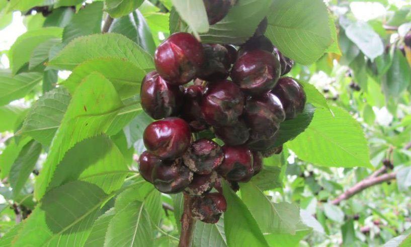 Παραλαβή πορισμάτων Βροχόπτωσης Κερασιών για Νάουσα, Στενήμαχο , Χαρίεσσα και Λευκάδια