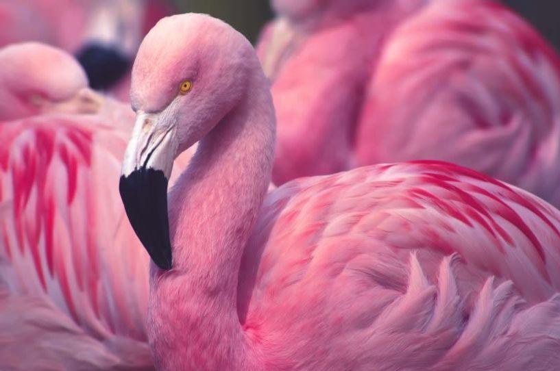 Σμήνος από ροζ φλαμίνγκο στον υγροβιότοπο του Αγίου Μάμα! Δείτε το βίντεο
