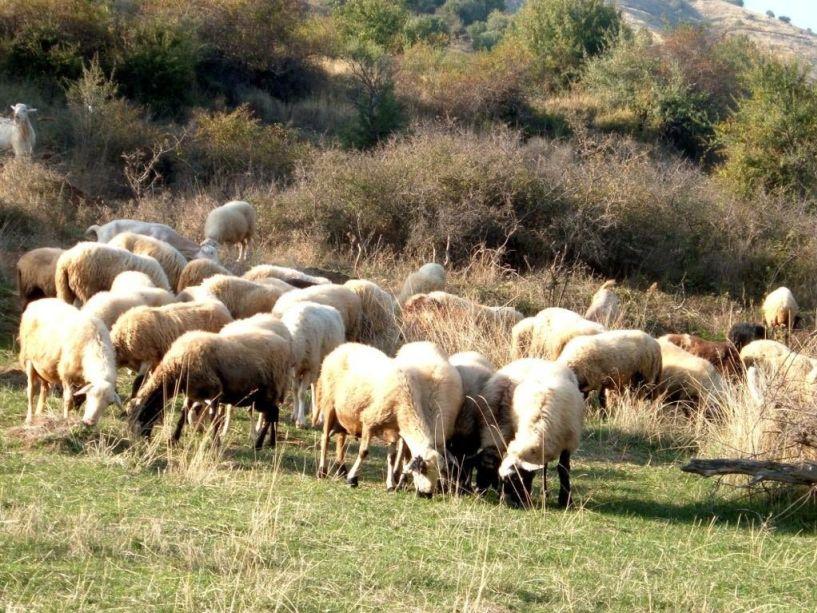 30 εκατομμύρια ευρώ  από το Υπουργείο Αγροτικής Ανάπτυξης για την ενίσχυση των αιγοπροβατοτρόφων