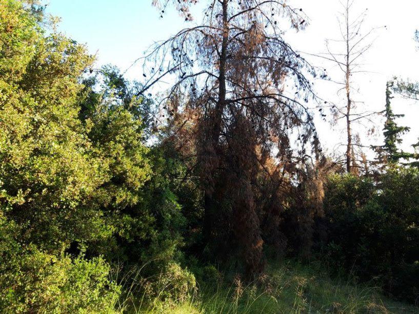 Φλοιοφάγο έντομο προσβάλει τα άλση του Δήμου Βέροιας