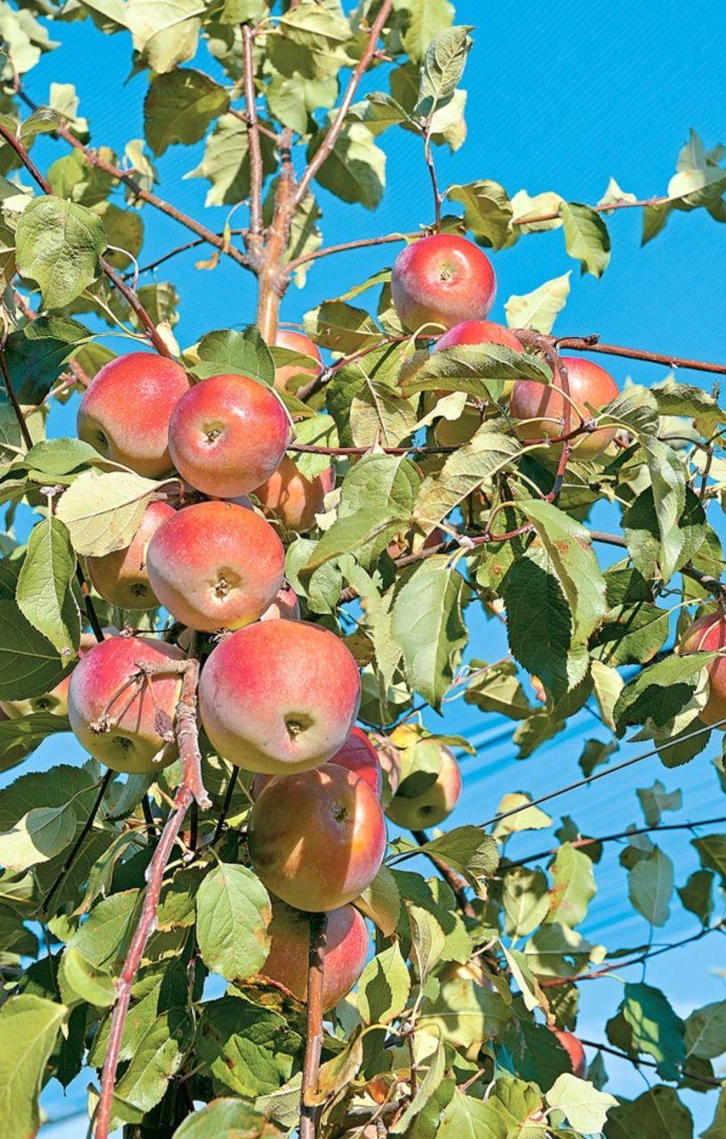Κομφούζιο με την καρπόκαψα στα μήλα