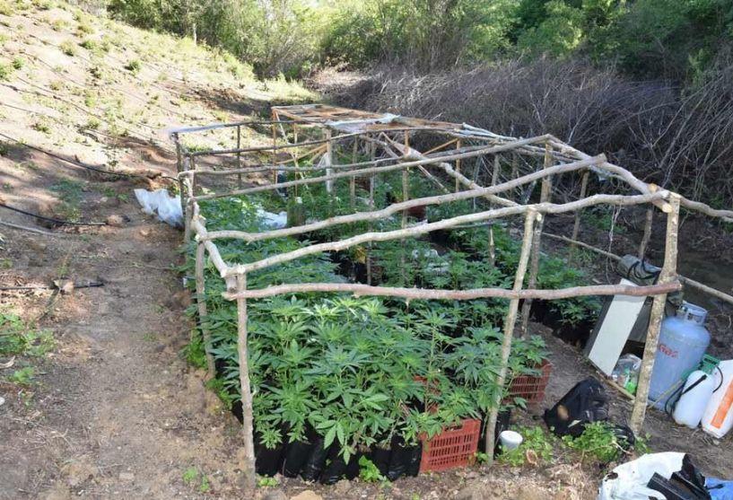 Κιλκίς: Φυτεία με περισσότερα από 1.400 δενδρύλλια κάνναβης (Εικόνες)