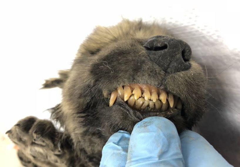 Πλάσμα 18.000 ετών «πονοκεφαλιάζει» τους επιστήμονες! Σκύλος ή λύκος;